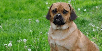 Puggle – hybrydowa rasa psów. Historia, cechy charakterystyczne, pielęgnacja