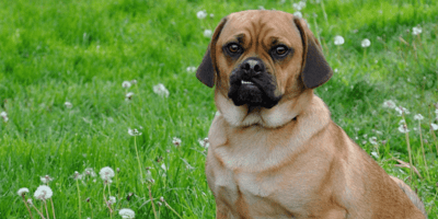 Puggle – miks mopsa i beagle'a. Historia, cechy charakterystyczne, pielęgnacja