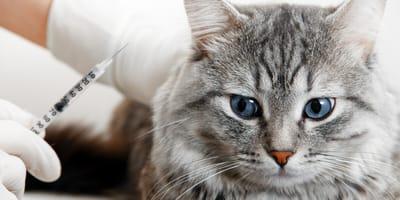 Cukrzyca u kota: jakie są objawy i jakie leczenie podjąć?
