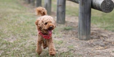 7 cagnolini di piccolissima taglia: le razze toy