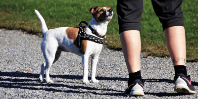 jack Russel dog with owner