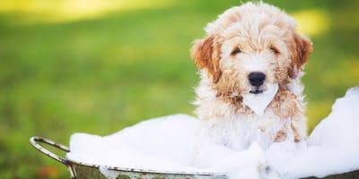 Golden puppy in a bath