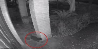 Sin explicación: un fantasmagórico gato negro desaparece de repente en un vídeo de vigilancia