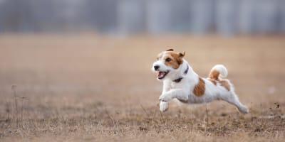 Jack Russel running