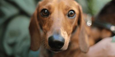 Brown daschshund