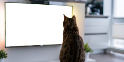 Erkennen Katzen eigentlich, was im Fernsehen läuft?