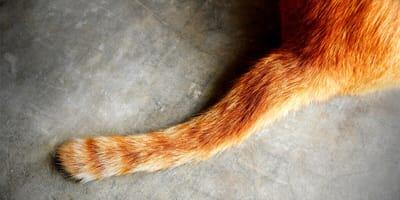 Koci ogon – do czego służy i co mówi o zachowaniu kota?