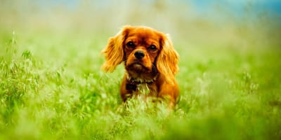 Cavalier King Charles sits in a field of grass