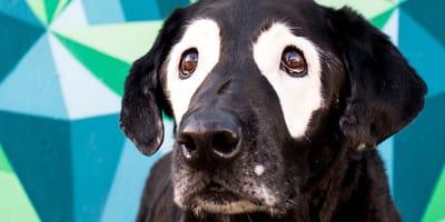 Hund Rowdy mit Vitiligo