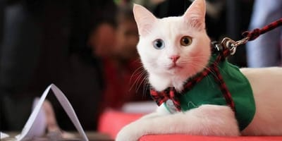 gatto turco van su red carpet
