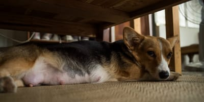cagnolina corgi incinta