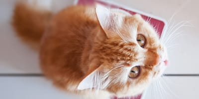 Ile powinien ważyć kot? Sprawdź prawidłową wagę!