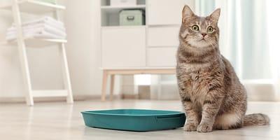 Razones por las que hay cristales en la orina de los gatos