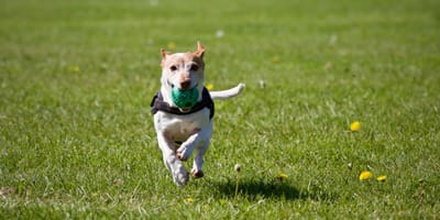Jack Russel runs across a field with a ball in his mouth