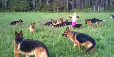 5-latka i  14 owczarków niemieckich - niecodzienne spotkanie! (VIDEO)