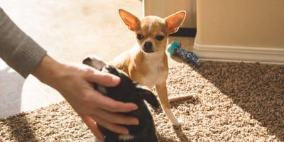 Knurren, Schnappen, Drängeln: Ist Ihr Hund etwa eifersüchtig?
