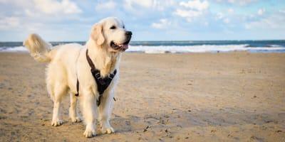Hund am Strand in Scheveningen in Holland