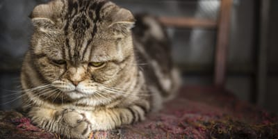 Alte Katze mit Arthrose
