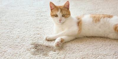 Warum pinkelt meine Katze in die Wohnung?