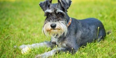 Poznaj rasy psów, które gubią mało sierści!