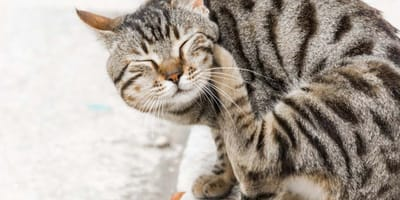 Trucos para acabar con las pulgas en gatos