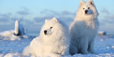 samojed - biała rasa psów