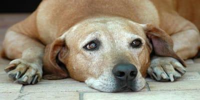 Pancreatitis en perros: cómo detectarla y tratarla a tiempo
