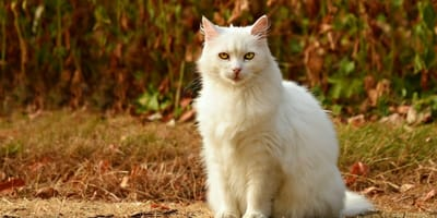White cat sits against autumn scene