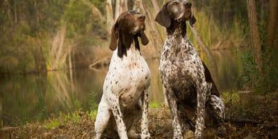 Jakie są rasy psów myśliwskich?