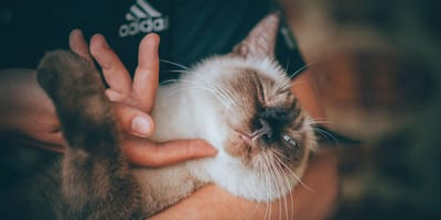 Siamese cat gets chin rubbed by owner