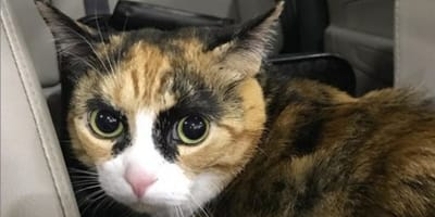 gatto calico con sopracciglia
