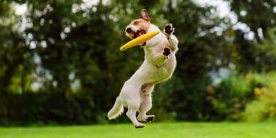 Dogfrisbee – jak wybrać? Jak nauczyć psa łapać frisbee?