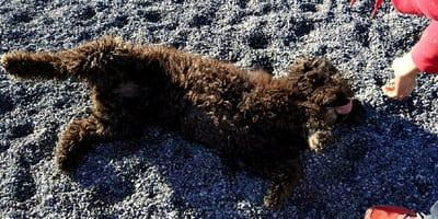 perro hacerse muerto
