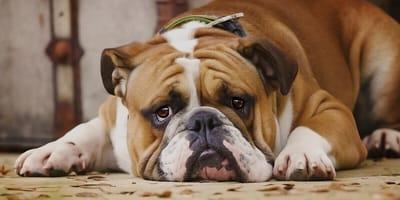 Hausmittel helfen: Wenn der Hund eine Blasenentzündung hat