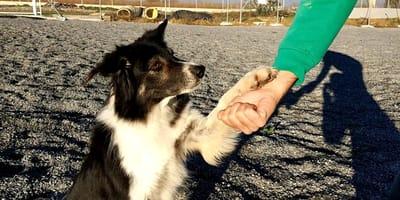 razas de perro más obedientes
