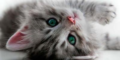 venenos para felinos