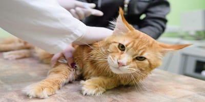 vacunación para gatos