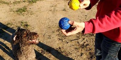 Un perro ve la pelota que debe atrapar