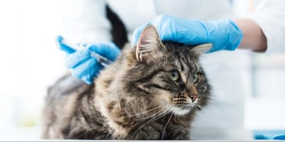 ¿Cómo funciona el calendario de vacunas para gatos?