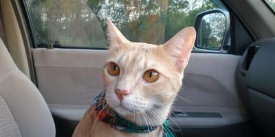 Przewożenie kota w samochodzie – o czym należy pamiętać?