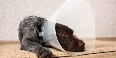 Cuello cono para perro: ¿qué opciones existen?