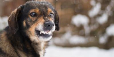 Ängstlicher Hund zeigt Zähne