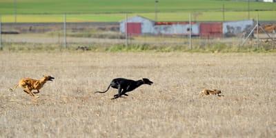 entrenamiento perro caza españa