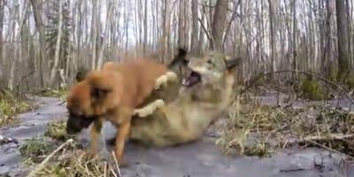 Spacer w lesie z owczarkiem: nagle pojawia się wilk i wszyscy wstrzymują oddech (VIDEO)