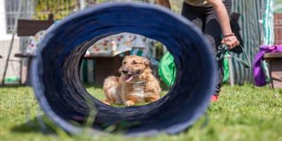 Circuito Agility hecho a mano para perros