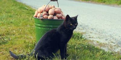 Czy kot może jeść ziemniaki?
