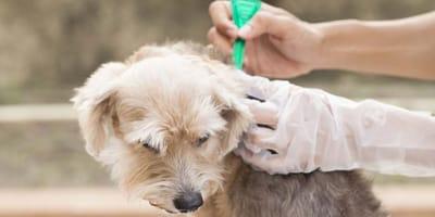 ¿Qué pipetas para perros son las más adecuadas y cómo usarlas?