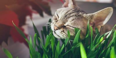 ¿Qué es y para qué sirve la hierba gatera?