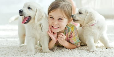 Little girl with two labrador puppies