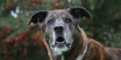 Diagnose Demenz: Wenn der Hund vergesslich wird